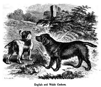 "Cocker Spaniel - A drawing of English and Welsh Cockers, from John Henry Walsh's (under the pseudonym ""Stonehenge"") 1859 work The Dog in Health and Disease"