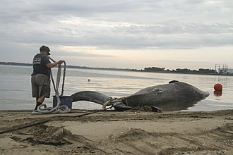 Drift whale - A sei whale carcass being removed from a Virginia beach by the authorities