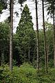 1MammutbaumDettenhäußerWeg Einsiedlersträßchen ausWaldlichtungDavor.jpg