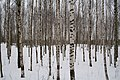 2006-01-03 14-21-18 Южно-Приморский парк, зима, берёзы - panoramio.jpg