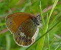 2013.07.01-05-Wustrow-Neu Drosedow-Rotbraunes Wiesenvoegelchen-Weibchen.jpg
