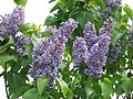 2013 Rochester Lilac Festival - Flower City Lilac - 07.JPG