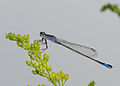 2014.07.31.-01-Vogelstangsee Mannheim--Grosse Pechlibelle-Weibchen.jpg