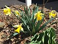 2015-04-12 11 14 58 Daffodils blooming on Terrace Boulevard in Ewing, New Jersey.jpg