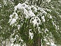2015-05-07 07 37 53 New green leaves covered by a late spring wet snowfall on a willow on Water Street in Elko, Nevada.jpg