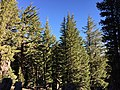 2015-10-31 09 10 36 Grove of Mountain Hemlocks along the Mount Rose Trail about 1.2 miles northwest of Mount Rose Summit, Nevada.jpg