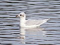 2015-10-31 Ichthyaetus melanocephalus 2nd-w, Swallow Pond, Northumberland 1.jpg