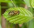 2015.05.24.-08-Buchklingen--Gemeine Garten-Schwebfliege-Weibchen.jpg