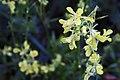 20151101 030 Kessel Weerdbeemden Geel walstro Galium verum (22674884225).jpg