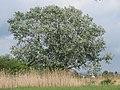 20160516Populus alba.jpg