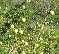 2016 28 November, Black spine nightshade, (Solanum linnaeanum), Albufeira (1).jpg