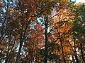 2017-11-10 16 49 01 View up into the canopy of a wooded area during late autumn along Stone Heather Drive in the Chantilly Highlands section of Oak Hill, Fairfax County, Virginia.jpg