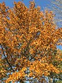 2017-11-29 15 01 35 View up into the canopy of a Pin Oak in late autumn along Franklin Farm Road in the Franklin Farm section of Oak Hill, Fairfax County, Virginia.jpg
