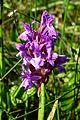 20170601 Nationaal Park De Drentsche Aa brede orchis.jpg
