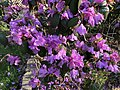 2018-04-18 17 22 02 Rhododendron blossoms along Dairy Lou Drive (Virginia State Route 6843) in the Franklin Farm section of Oak Hill, Fairfax County, Virginia.jpg