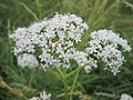 20180617Valeriana officinalis2.jpg