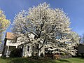 2020-04-06 13 54 25 A cherry tree blooming along Birch Bark Court in the Franklin Glen section of Chantilly, Fairfax County, Virginia.jpg
