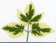 2020 year. Herbarium. Aegopodium podagraria. img-023.jpg