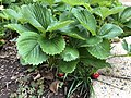 2021-06-02 09 42 16 Strawberry plant with ripening strawberries along Old Dairy Court in the Franklin Farm section of Oak Hill, Fairfax County, Virginia.jpg
