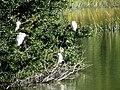 25 Egrets Beaufort SC 6407 (12368041974).jpg