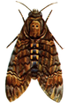 27-Indian-Insect-Life - Harold Maxwell-Lefroy - Acherontia-styx edited.png