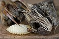 35.056 BF724 Metzneria lappella & hibernaculum (16313462454).jpg