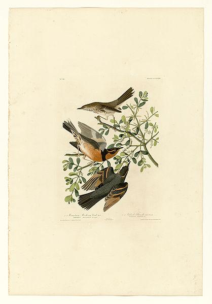 File:369 I. Mountain Mocking bird - 2. Varied Thrush.jpg