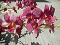3905Orchids in the Philippines 06.jpg