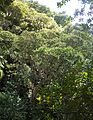 3 Ilex mitis tree in forested Cape river valley - SA.jpg