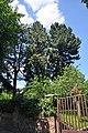 46-101-5029 Lviv Trusha 19 Pinus Peuce RB 18.jpg