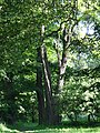 617683 A 683 Krakow Krzesławice Wankowicza 25 park w zespole dworsko parkowym 29.JPG