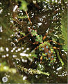 A-synopsis-of-the-tribe-Lachnophorini-with-a-new-genus-of-Neotropical-distribution-and-a-revision-zookeys-430-001-g001.jpg