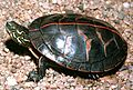 A3 Southern painted turtle.jpg
