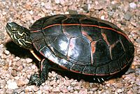 Southern painted turtle facing left, top-side view, stripe prominent, on pebbles