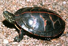 A southern painted turtle facing left, top-side view, stripe prominent, on pebbles