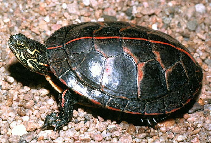 File:A3 Southern painted turtle.jpg