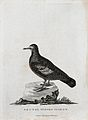 A Bronze Winged pigeon. Etching by P. Mazell after A. Latham Wellcome V0022865ER.jpg
