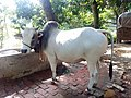 A North Bengal Grey Cattle in the countryside of Bangladesh.jpg