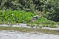 A Painted Stork at the distance (14144676227).jpg