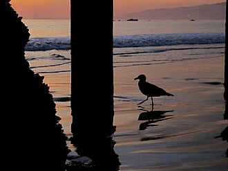 A common bird called the California gull found on the beach A Santa Monica Seagull.JPG