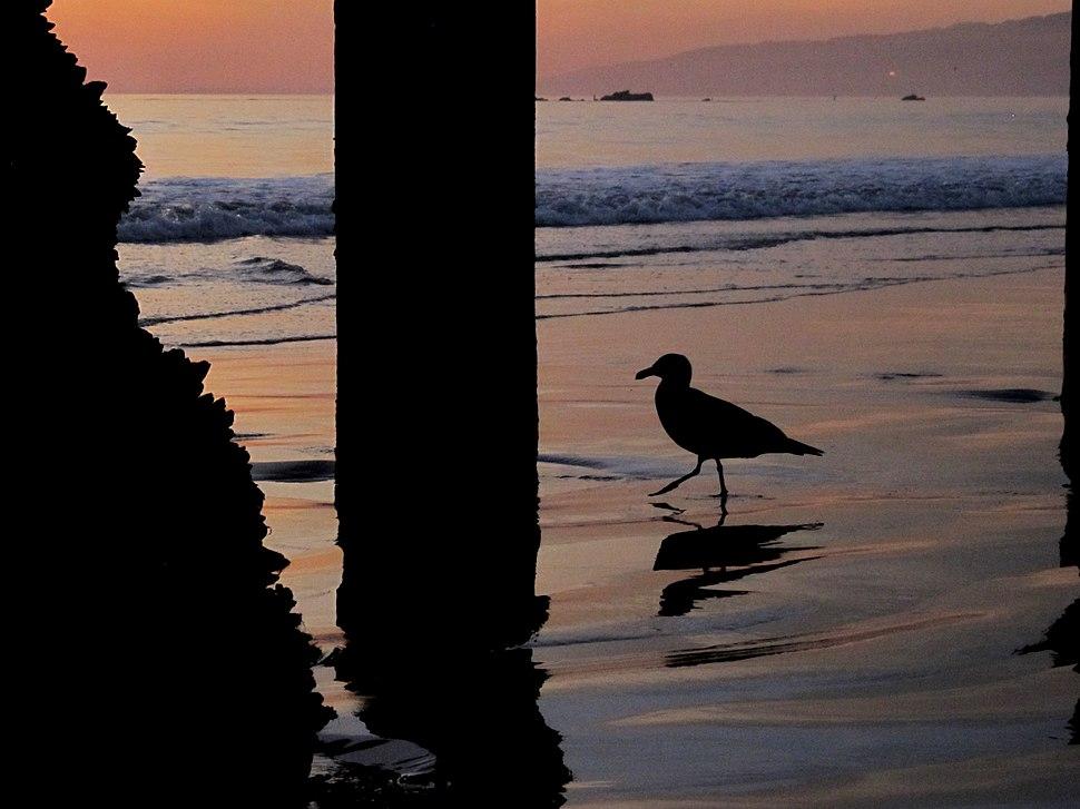 A Santa Monica Seagull