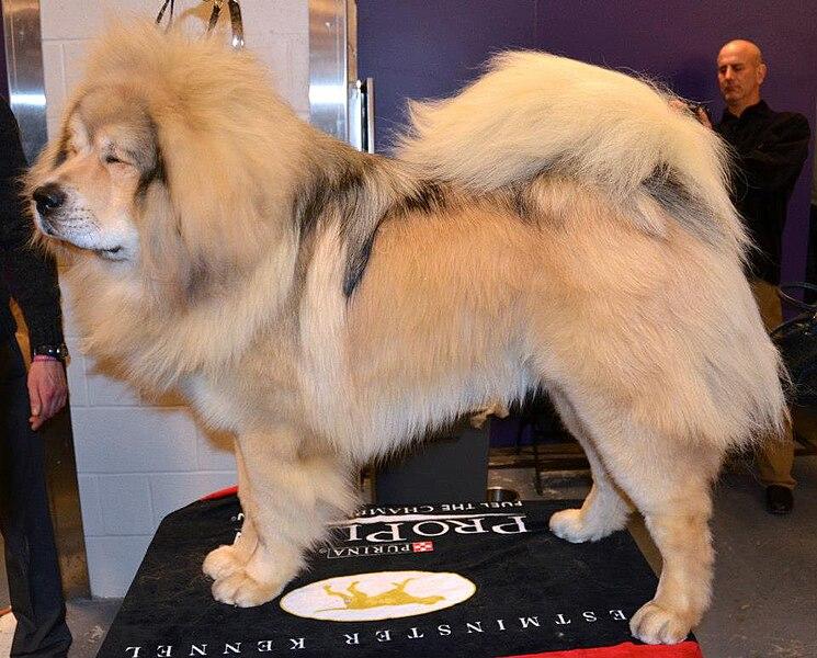 File:A Tibetan Mastiff.jpg