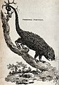 A prehensile porcupine climbing down a tree. Etching by Heat Wellcome V0021215.jpg
