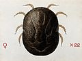 A tick (Ornithodurus moubata). Coloured drawing by A.J.E. Te Wellcome V0022547.jpg