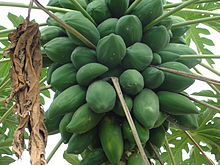 A unripened Papaya bunch.jpg