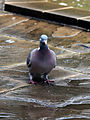 A wood pigeon on the Cafe patio at City of London Cemetery 02.jpg