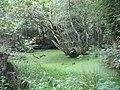 A woodland pond alongside the Llansadwrn-Llandegfan path - geograph.org.uk - 952983.jpg