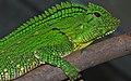 Abbott's Anglehead Lizard (Gonocephalus abbotti) female (8745079610).jpg