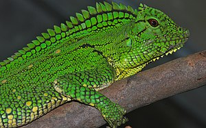 Abbott's crested lizard - Image: Abbott's Anglehead Lizard (Gonocephalus abbotti) female (8745079610)