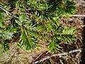 Abies grandis leaves.jpg